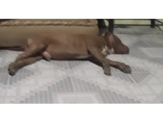 Hermoso y robusto pitbull terrier chocolate para MONTA EN QUITO